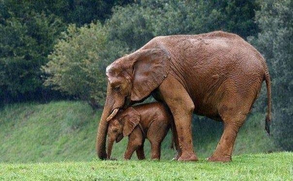 Мама прячет малыша от дождя
