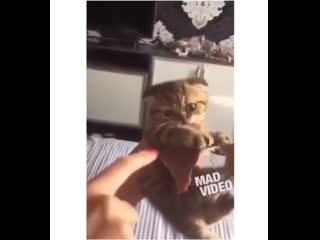 Кот-жадина