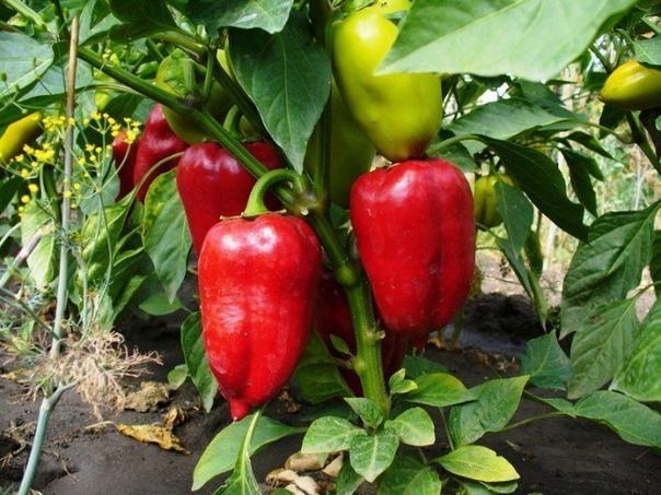 хитрости выращивания перца. высаживая перцы в грунт, не углубляйте их ни в коем случае: это не томаты. если выросшая рассада зацвела и завязала плоды, ничего страшного, в парнике растение очень