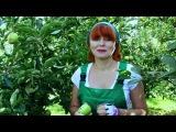 Яблоня сорта Голден делишес и случайное райское яблочко
