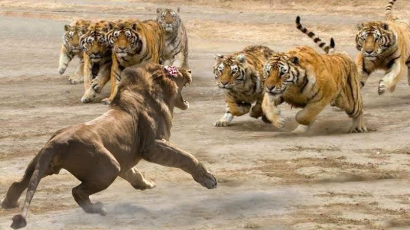 KİNG LİON vs TİGER Real Fight ►► Leopard Hyena Mongoose Snake Lion Tiger Buffalo - Animal Attacks