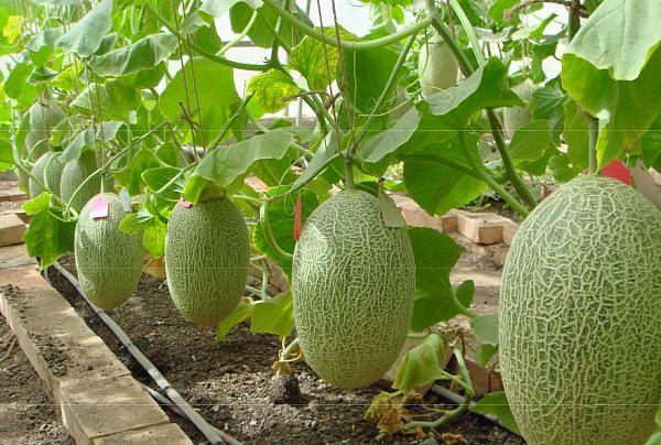 ароматные пузатики. выращивать дыни, по словам успешных земледельцев, совсем не сложно. в начале апреля высаживают семена, предварительно замочив, в горшки и ставят на самое солнечное место в