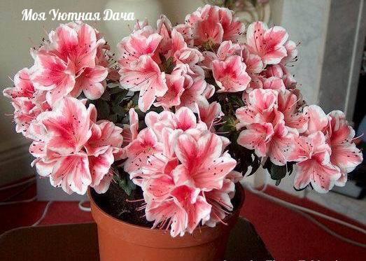 азалия. как выбирать цветок. секреты ухода. как выбирать растение1. лучше выбирать средний экземпляр: не большой и не маленький. большие трудно адаптируются, а у маленьких может не хватить