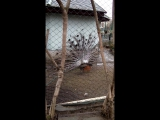 Зоопарк(Павлин)