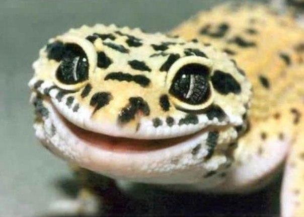 Улыбка геккона