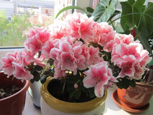 Как ухаживать в домашних условиях цветы азалии