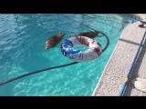 Лучше, чем плавание с дельфинами только купание с енотами