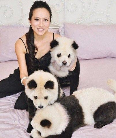 Собаки-панды! Хотели бы себе такое животное?)