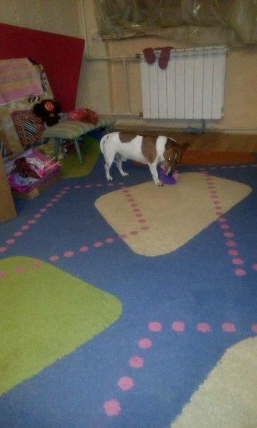 Админ пропусти пожалуйста. Пропала собака Джек расел в районе Текстиль