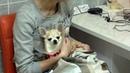 Факоэмульсификация прогрессирующей катаракты у собаки породы чихуахуа