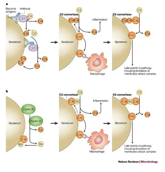 На картинке - патогенез
