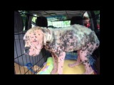 Emaciated Boxer Puppy Rescued From the Streets of Dallas.wmv