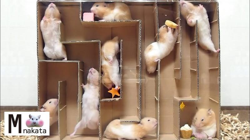 ハムスター 難攻不落⁉ハムスター迷路をダンボールで手作り !DIYおもしろ可愛い癒しHamster escape from cardboard Maze Creative Labyrinth