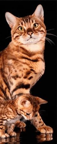 Самара бенгальского кота куплю