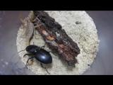 Самка жука Оленя и Скорпион - противостояние ....
