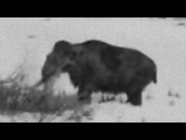 Живой мамонт Сибирь 1943 год