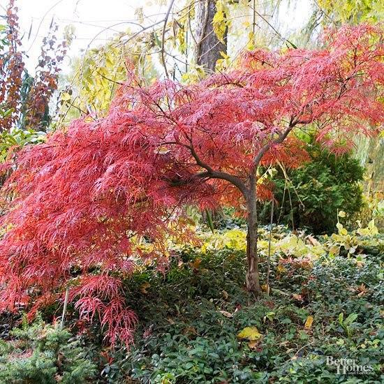 Осенний сад на даче-японский клен