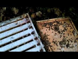 Varroa Mite Control-Sugar Dusting