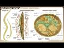Урок Тип круглые черви