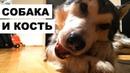 Собака и кость: маламут грызет копыто (АМСР)