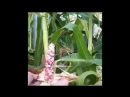 Alimentation : Le maïs arc-en-ciel