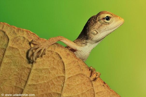 Uda Dennie #lizard