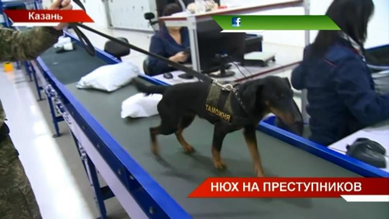 Ищут наркотики, оружие и деньги: работа кинологической службы татарстанской таможни   ТНВ