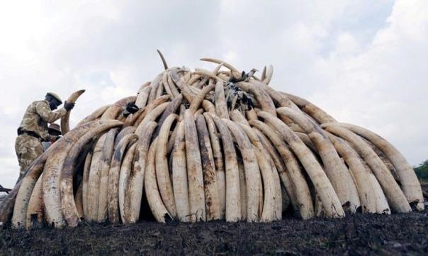 По вине браконьеров африканские слоны перестали отращивать бивни Африканские слоны регулярно становятся жертвами браконьеров из-за их драгоценных бивней. Дело в том, что многие народы Азии и
