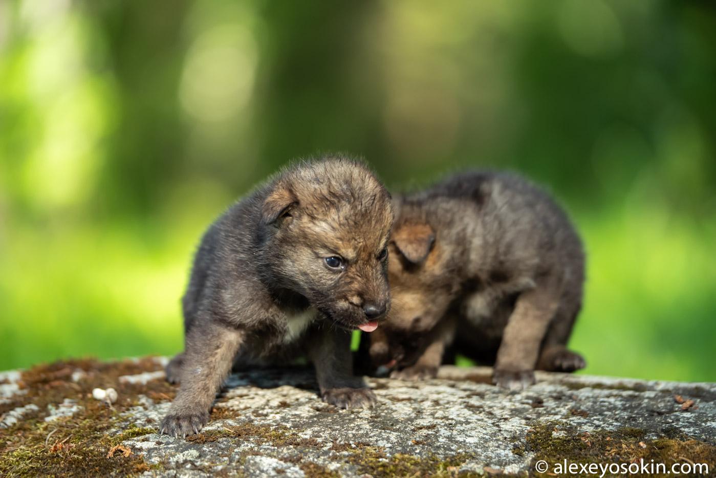 wZJz4FPHAv8 - Фото новорожденных волчат