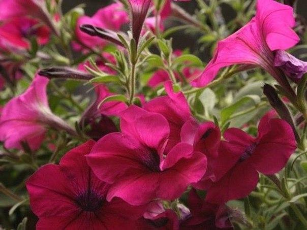 Секрет успеха в выращивании петунии прост: большая емкость + регулярные подкормки и достаточный полив + удаление отцветших цветков.