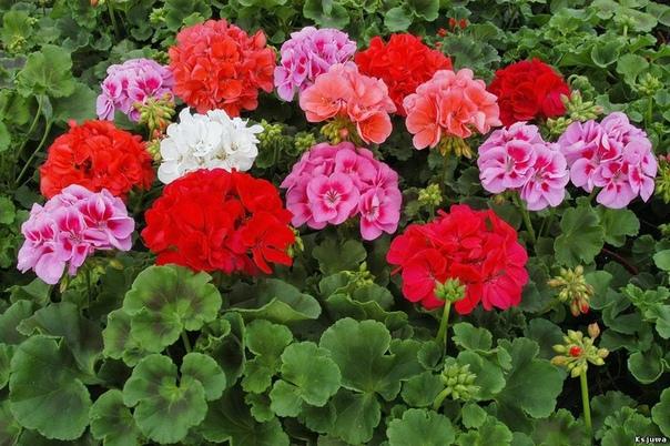 ЧЕРЕНКОВАНИЕ ПЕЛАРГОНИИ В народе пеларгонию часто называют ,,герань,,.Но это не правильно ,потому что герань это морозостойкий многолетник произрастающий в садах и встречающийся в дикой природе