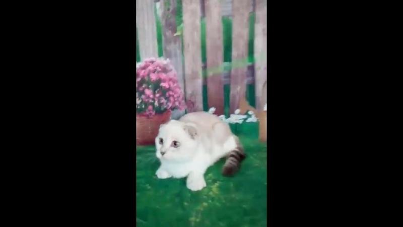 Шотландская кошечка Fey Real cat's