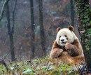 Знакомьтесь — это Кизай(Qizai) . Он — единственная коричневая панда в мире.