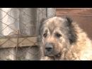 Кавказская овчарка. Планета собак 🌏 Моя Планета
