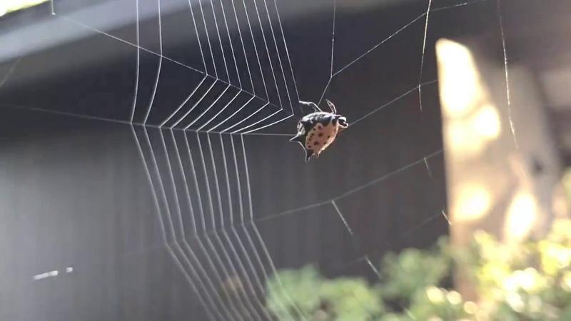 Паук плетёт паутину непостижимое волшебство природы!