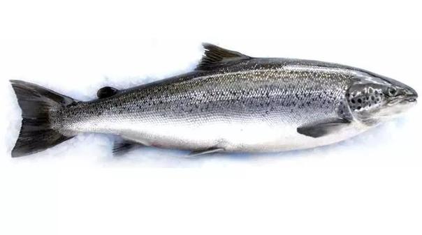 Разница между лососем и семгой Лосось и семга традиционно считаются наименованием одной и той же рыбы. Но это не вполне корректно. Чем это обусловленоЧто это за рыба лосось Лосось собирательное