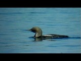 Black-throated Loon / Чернозобая гагара / Gavia arctica