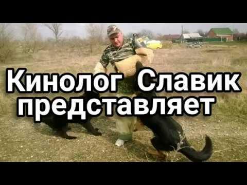 Кинолог Славик дрессировка собак по Краснодарскому краю