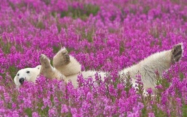 Полярный мишка играется в цветах на острове Таймыр, Россия.