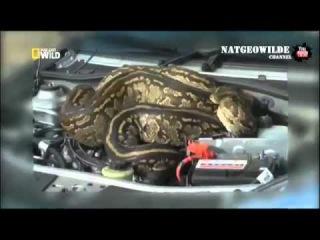 Огромная змея залезла в автомобиль - NAT GEO WILD