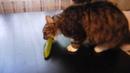 Кот и огурец. Кот ест огурец.