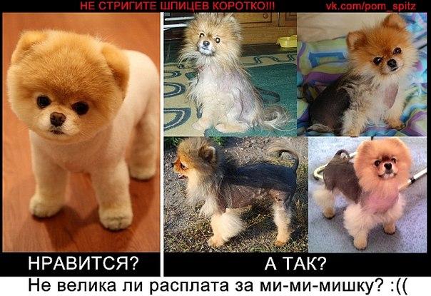 Как подстричь шпица в домашних условиях видео - Gmpruaz.ru