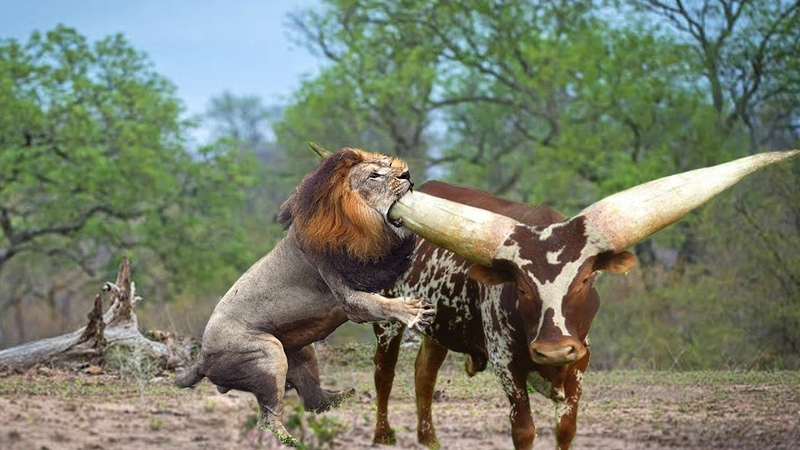 Hash Life Of Lion Buffalo Vs Lion Fight To Death Let's Explore the Animal Planet 2019
