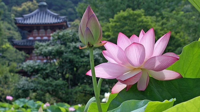 Lotus Flowers - Symbol of Rebirth and the Sun