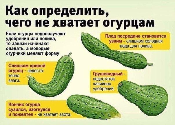 Сажаю огурцы по методу белорусской тётушки