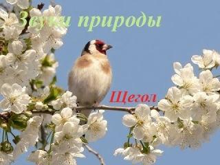 Голоса птиц для детей. Щегол