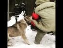 Проверка кавказских волкодавов на охрану территории, питомник