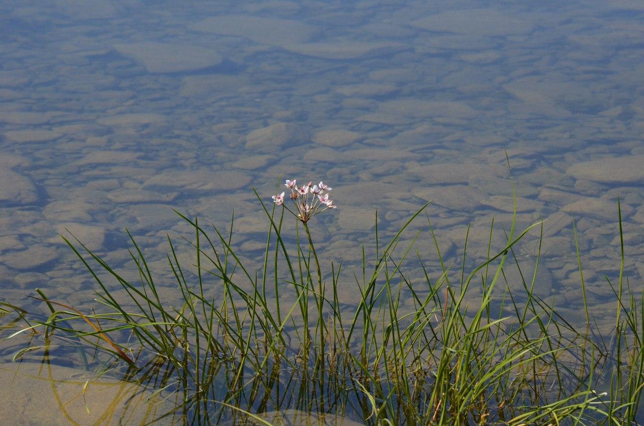 водное растение (06.11.2014)