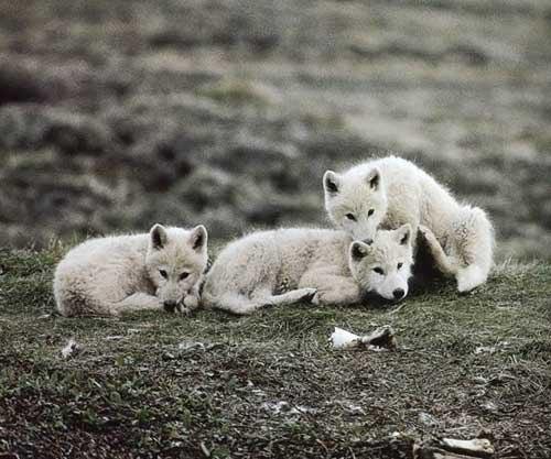 Это мои волки моя стая остаётся