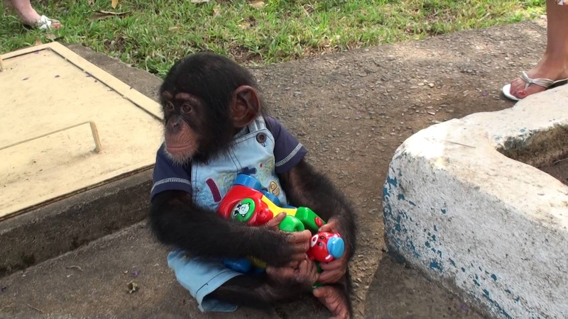 Baby Chimp doesnt want to share his toy